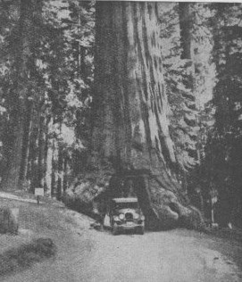 Wawona Tunnel Tree