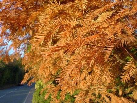 Autumn Dawn Redwood foliage