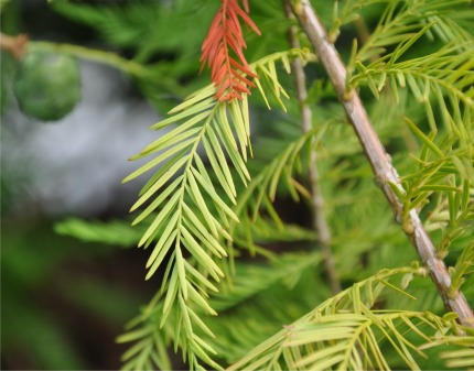 Swamp Cypress foliage