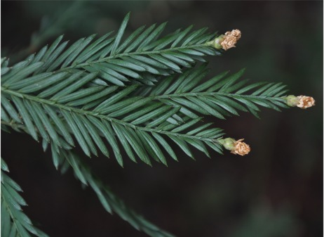 Coast Redwood foliage