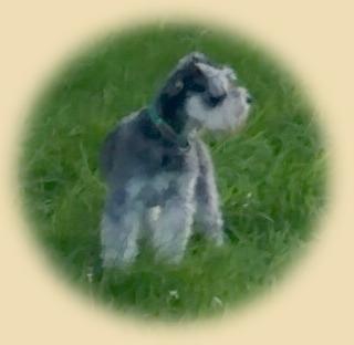Schnauzer breeders oxfordshire